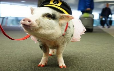 Adorable LiLou the Pig calms anxious travellers at San Francisco airport