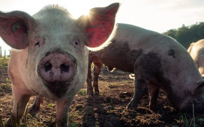 Pigs on commercial farms face largest Swine Fever threat in history