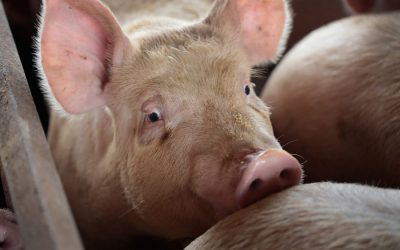Slaughterhouses in Netherlands cook pigs alive