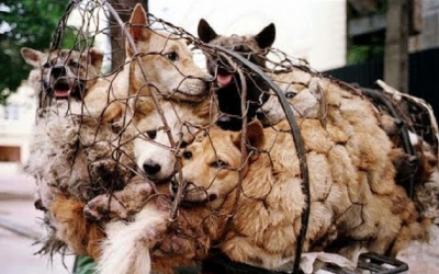 Eat Dogs to Show Cultural Confidence – Chinese Dog Meat Company