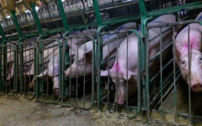 The 'Sick' Truth About Factory Farms