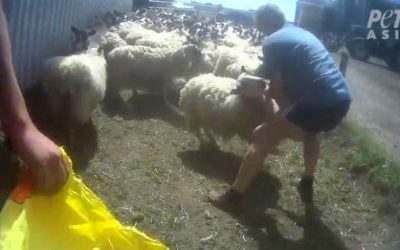 Farmer Brutally Punches Sheep In Face