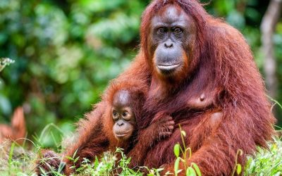 The Orangutan Project Launches Petition To End Wild-Life Trade