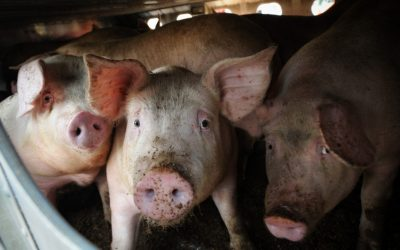 Meat Processing Plants across the US are panicking about the effect of Coronavirus pandemic