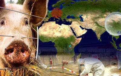 Millions Of Pigs Slaughtered Due To Threat Of African Swine Fever Spread