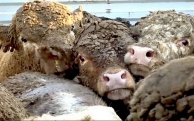 Slaughterhouses Jeopardise Worker Health Due To Demand For Meat