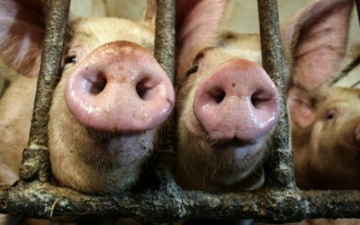 The next pandemic will come from factory farms
