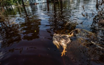 Chickens at risk as US hurricane season hits