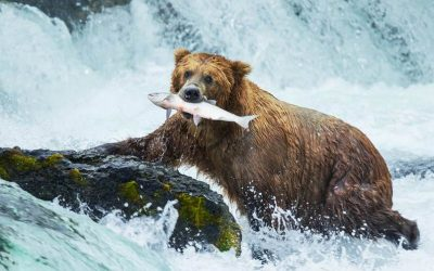 Humans eating salmon is harming orcas, grizzly bears and destroying their environment