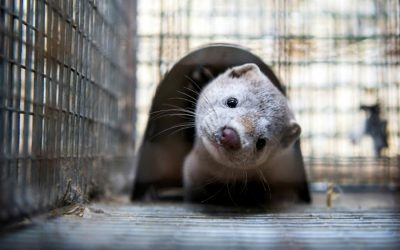 Pandemic fears with outbreak of COVID-19 on Denmark mink farm