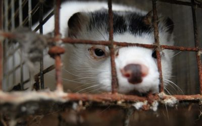 Mass mink culling in Denmark leads to groundwater contamination