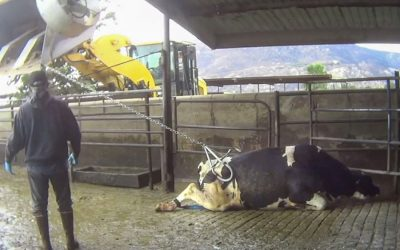 The life of an undercover factory farm investigator