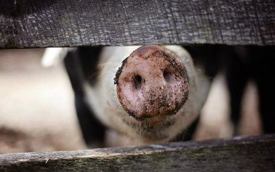 Why factory farming is a catastrophic risk to our species