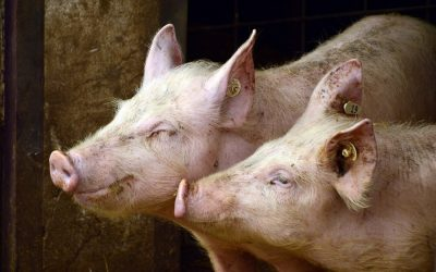 Germany's pig farms threatened by African Swine Flu and COVID-19 outbreaks