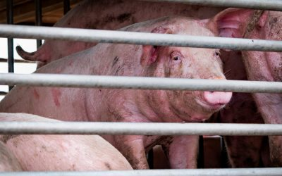Veterinarian speaks out on horrors of pig industry