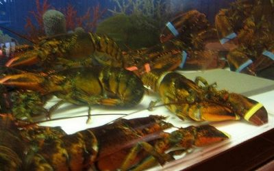 Lobsters suffer in tanks where they are kept for future consumption